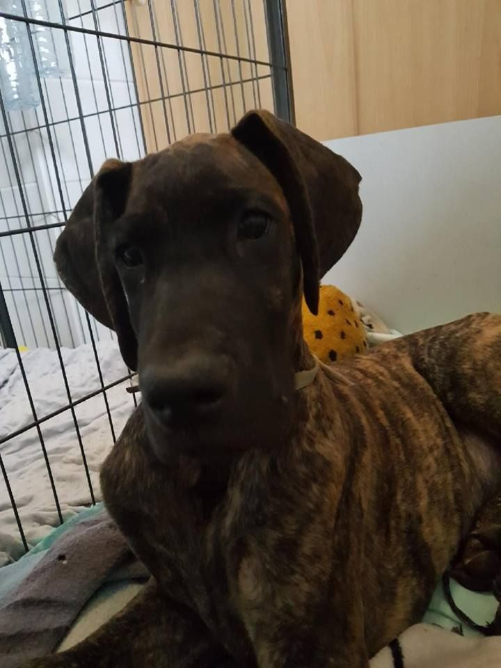 des Alans d'or du Val de Tara - Chiot disponible  - Dogue allemand