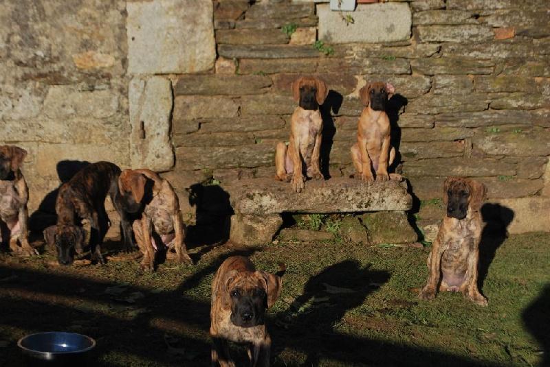 chiot Dogue allemand des Alans d'or du Val de Tara