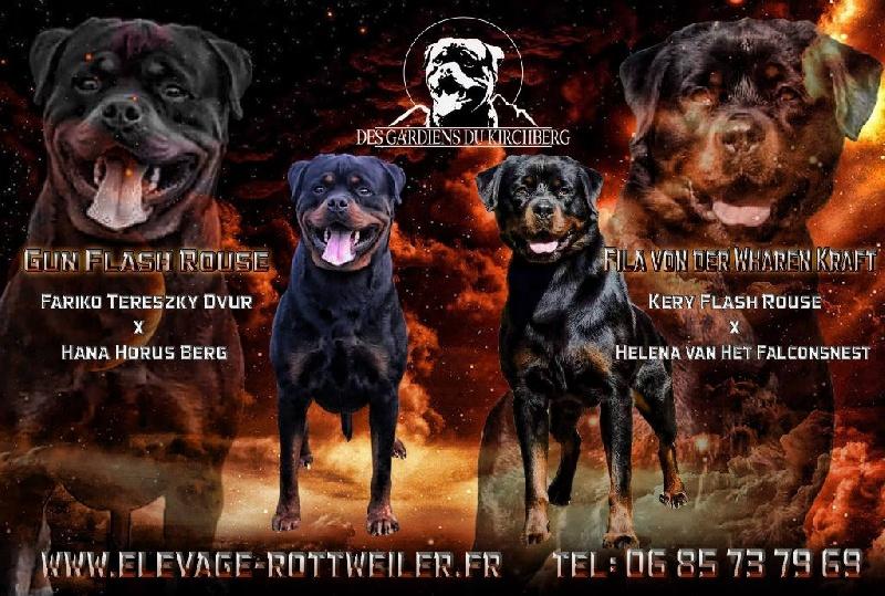 des gardiens du kirchberg - Rottweiler - Portée née le 01/01/2016