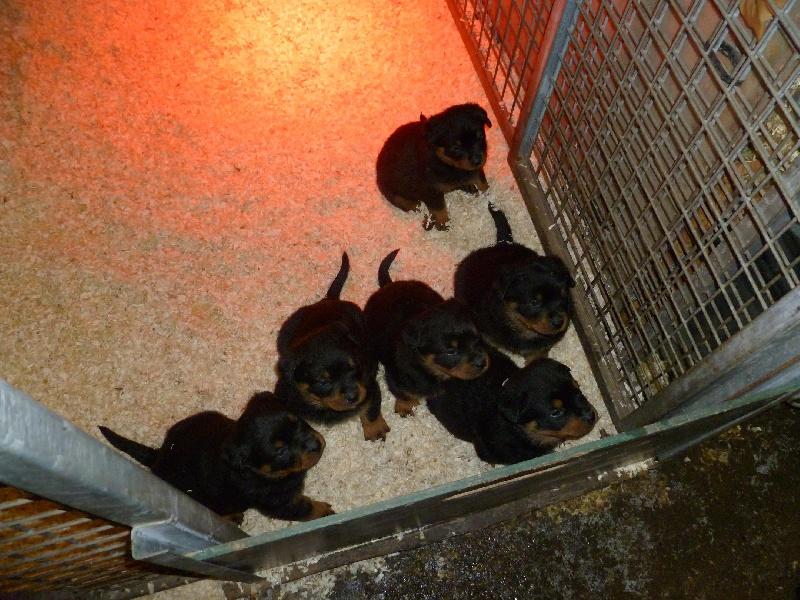 chiot Rottweiler des gardiens du kirchberg