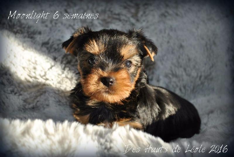 Moonlight - Yorkshire Terrier