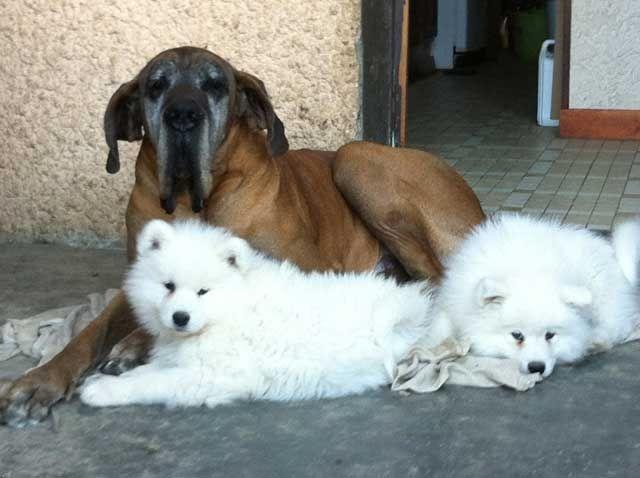 Photo - Elevage d'Héracléopolis - eleveur de chiens Samoyède