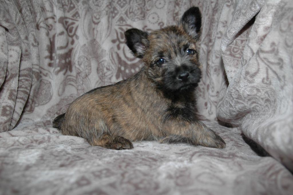 Chiots De La RaceCairn Terrierdisponibles Sur Chiots-de-france