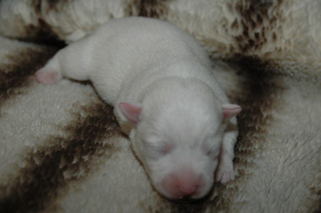 de la pinkinerie - Chiot disponible  - Jack Russell Terrier