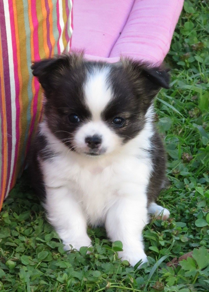 de Torranswald - Chiot disponible  - Chihuahua