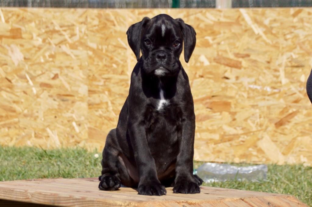 des Black du Cagire - Chiot disponible  - Boxer