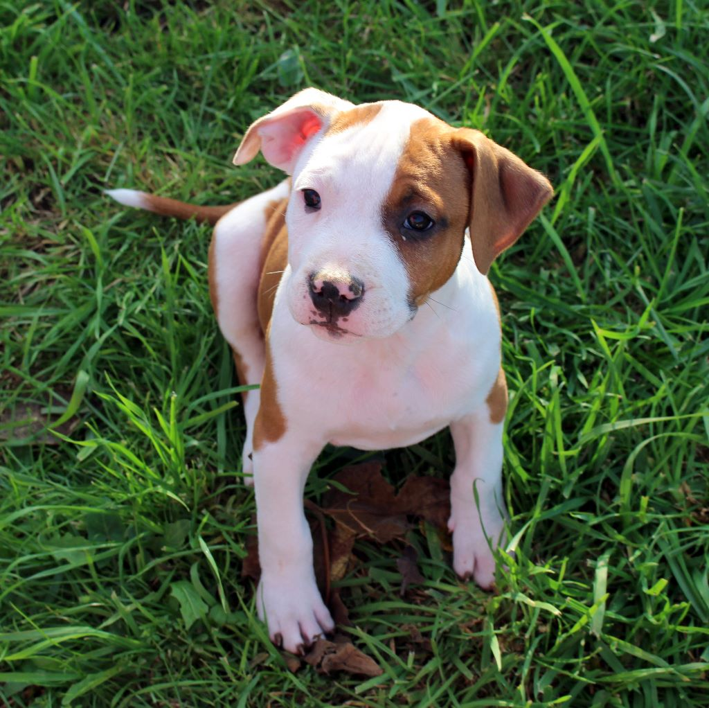 du temple de Gaïa - Chiot disponible  - American Staffordshire Terrier