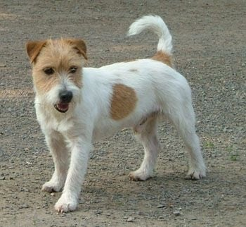 Suzan's Pride Galaxie Jack Russell Terrier