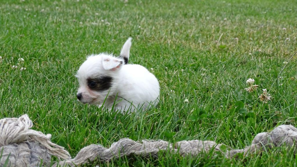 du Blason de l'Ourse - Chiot disponible  - Jack Russell Terrier