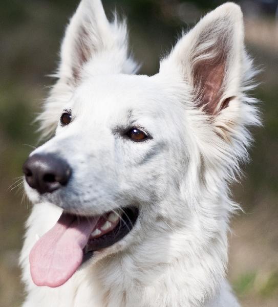 Emeraude du jardin des lys blancs chien de race toutes - A poil dans son jardin ...