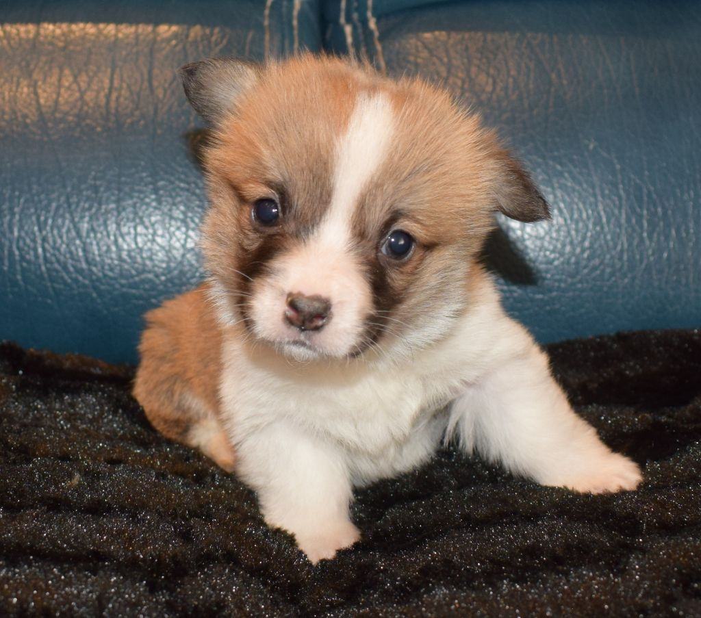 CHIOT COLLIER JAUNE - Welsh Corgi Pembroke