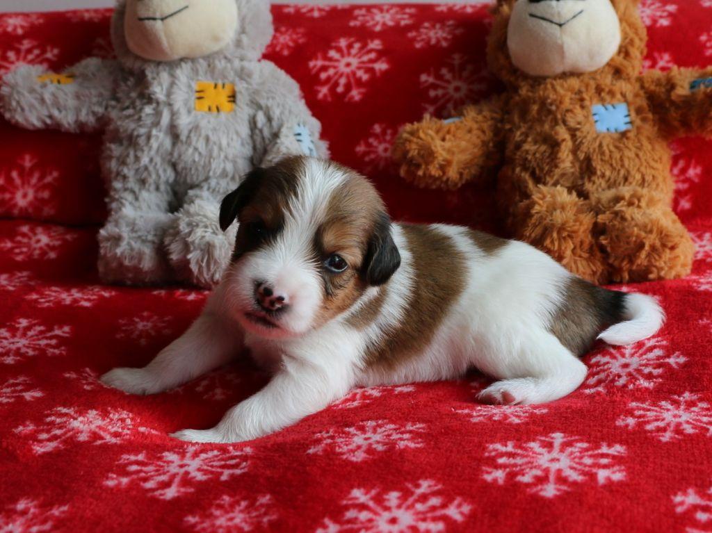 du triskel des elfes - Chiot disponible  - Petit chien hollandais de chasse au gibier d'eau