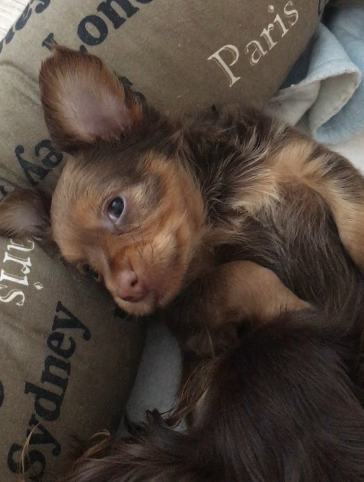 Lux Toy - Chiot disponible  - Russkiy Toy (Petit Chien Russe)