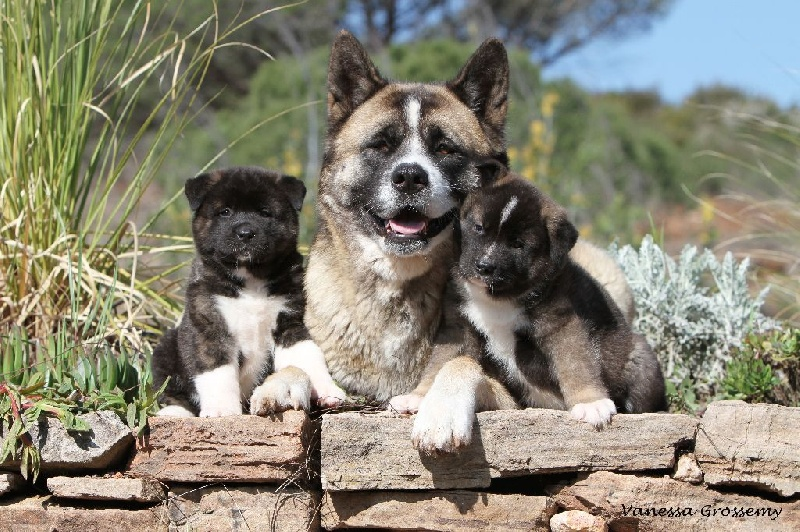 Chiot - Elevage Carine Carre - eleveur de chiens Akita