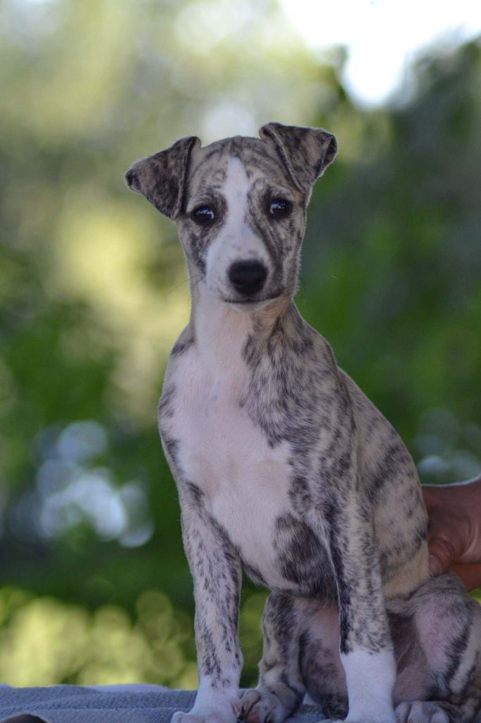 Olympe  - Whippet