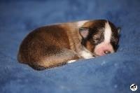 des lutins de Cassiopée - Shetland Sheepdog - Portée née le 08/04/2020