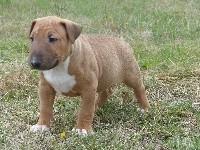 Bull Terrier - des Terres des Forges