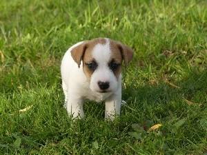 Jack Russell Terrier - des Terres des Forges