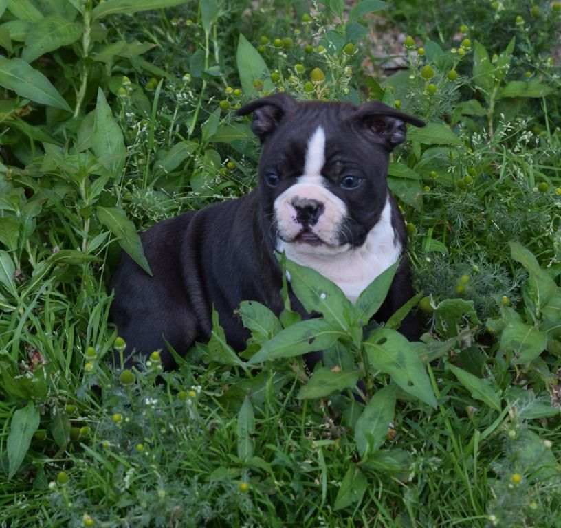 Pepper Mint - Boston Terrier