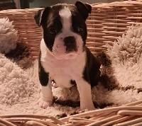 de la Grange Enchantée - Boston Terrier - Portée née le 18/12/2020