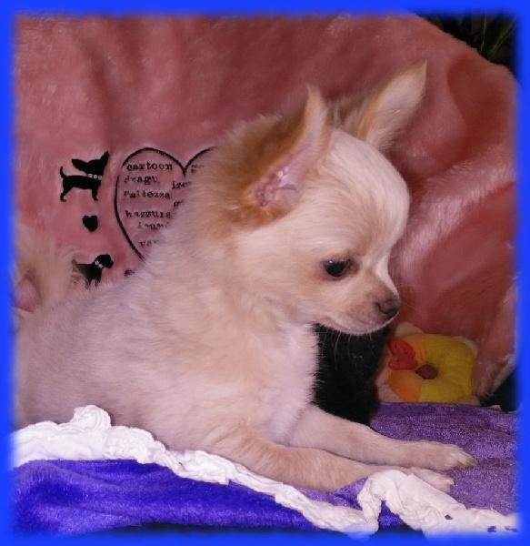 du Picculu Ribellu - Chiot disponible  - Chihuahua