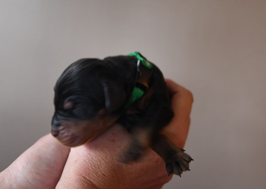 of Lady Woodcock - Chiot disponible  - Setter Gordon