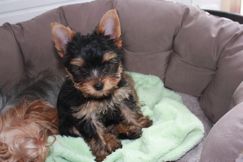 Du Mont Chauve - Chiot disponible  - Yorkshire Terrier
