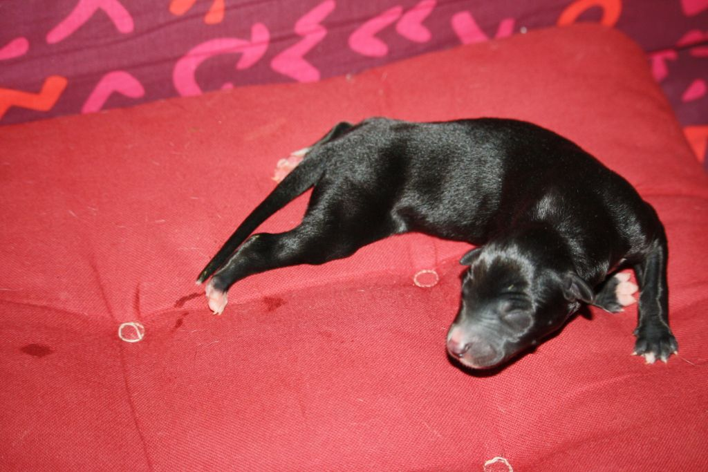 christcile's - Chiot disponible  - Greyhound