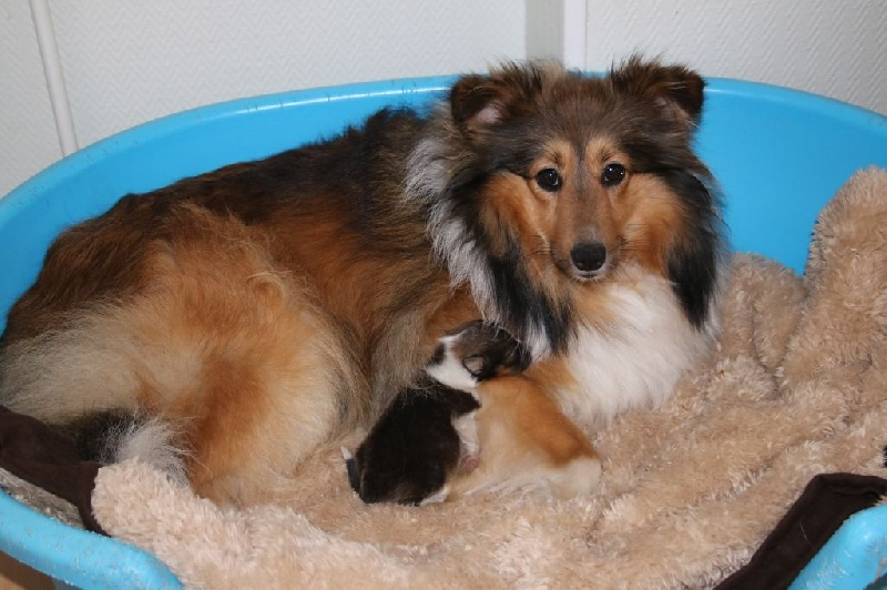 chiot elevage du domaine de la salvoni re eleveur de chiens shetland sheepdog. Black Bedroom Furniture Sets. Home Design Ideas