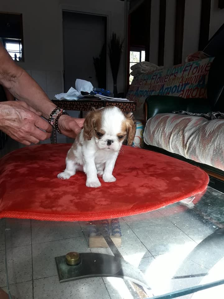 de la Verte  Albion - Chiot disponible  - King Charles Spaniel