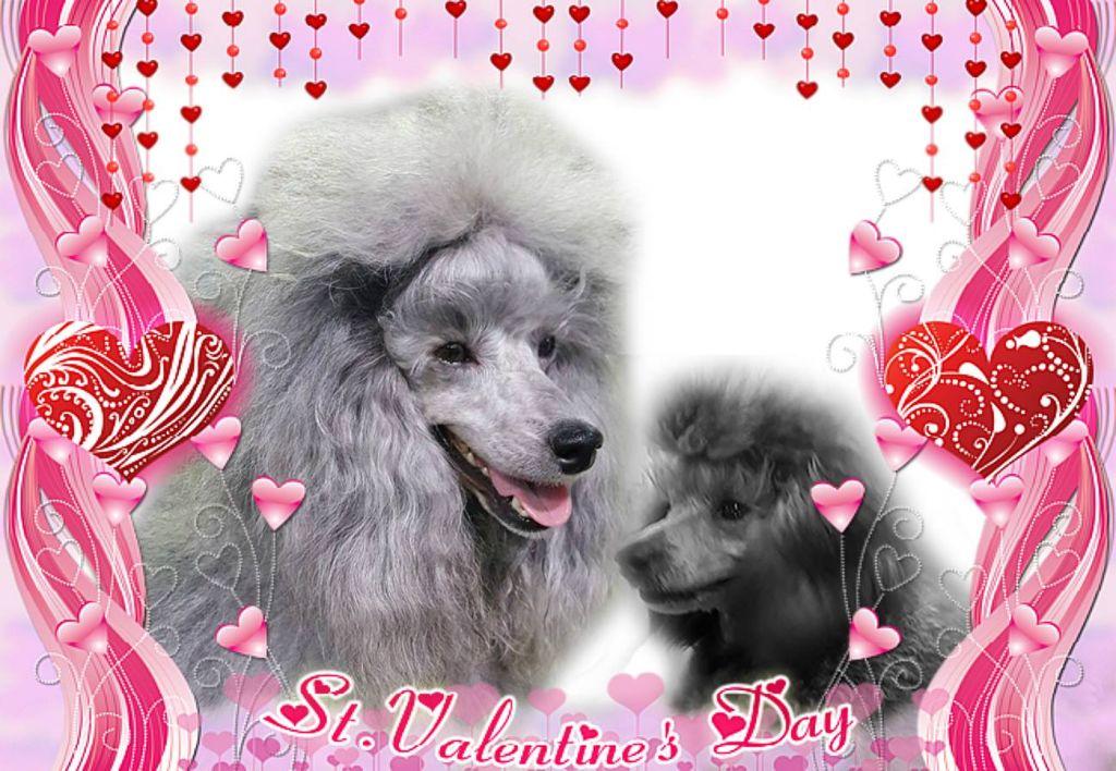 des Cheycken's Grey De Clea - Joyeuse Saint Valentin....