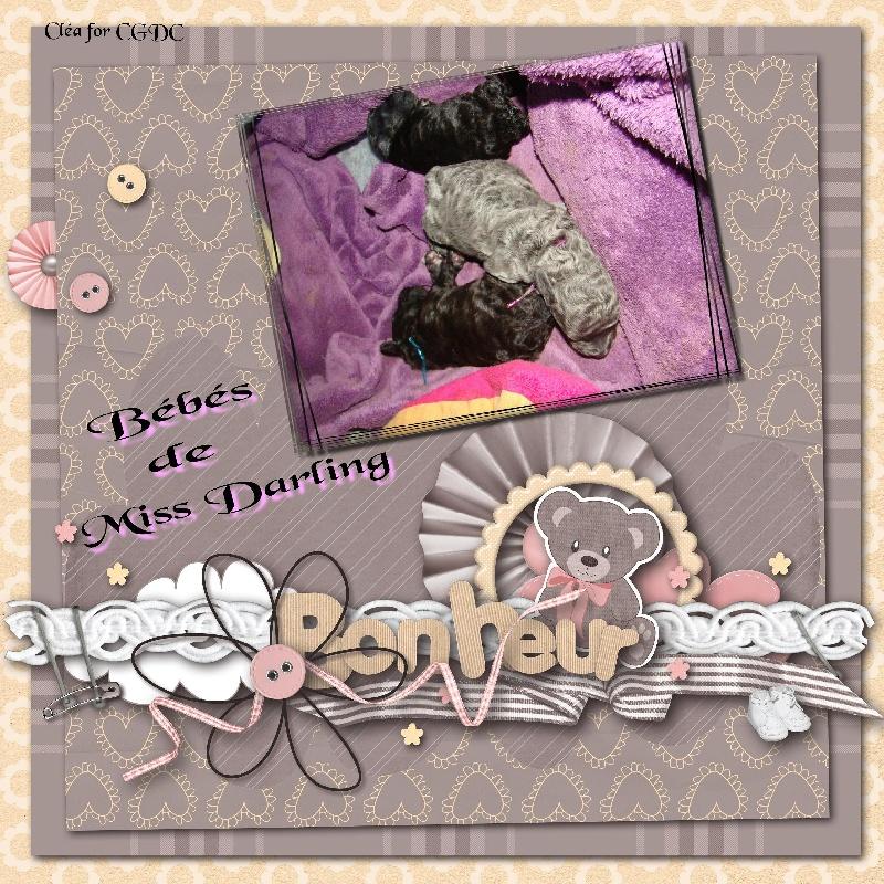 des Cheycken's Grey De Clea - Caniche - Portée née le 25/12/2012
