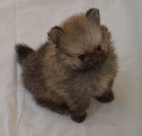 French Vanilla - Chiot disponible  - Spitz allemand