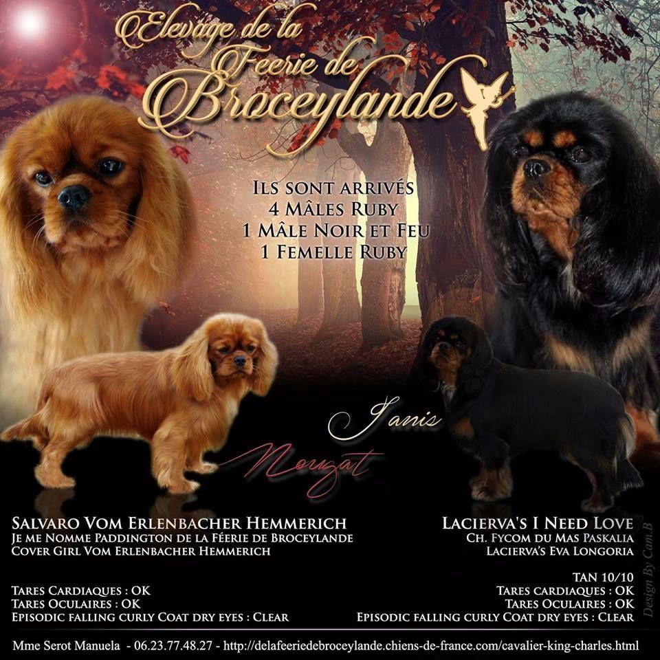 De La Feerie De Broceylande - Chiot disponible  - Cavalier King Charles Spaniel