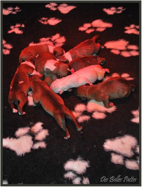 Des Belles Pattes - American Staffordshire Terrier - Portée née le 14/04/2010