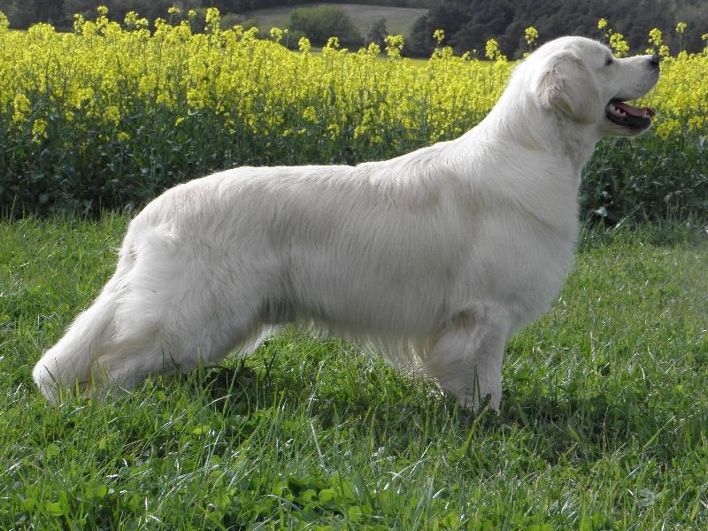 Free volt de bihan ki breizh chien de race toutes races en - Race chien volt ...