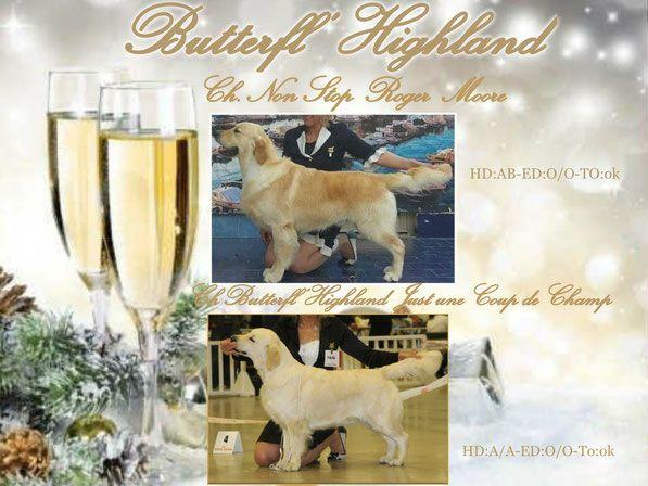 Butterfl 'highland - Chiot disponible  - Golden Retriever