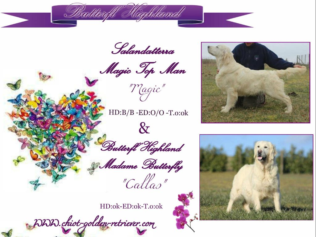 Butterfl 'highland - Chiot disponible  - Golden Retriever