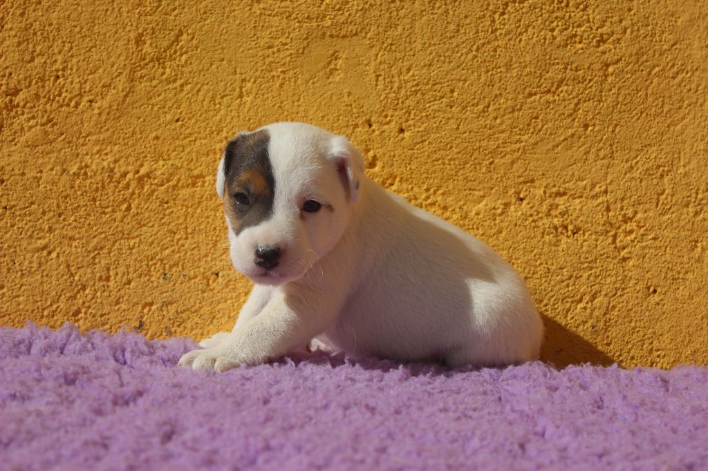 CHIOT - Parson Russell Terrier