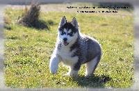 of Arctic Wolf Dream  - Siberian Husky - Portée née le 19/11/2016