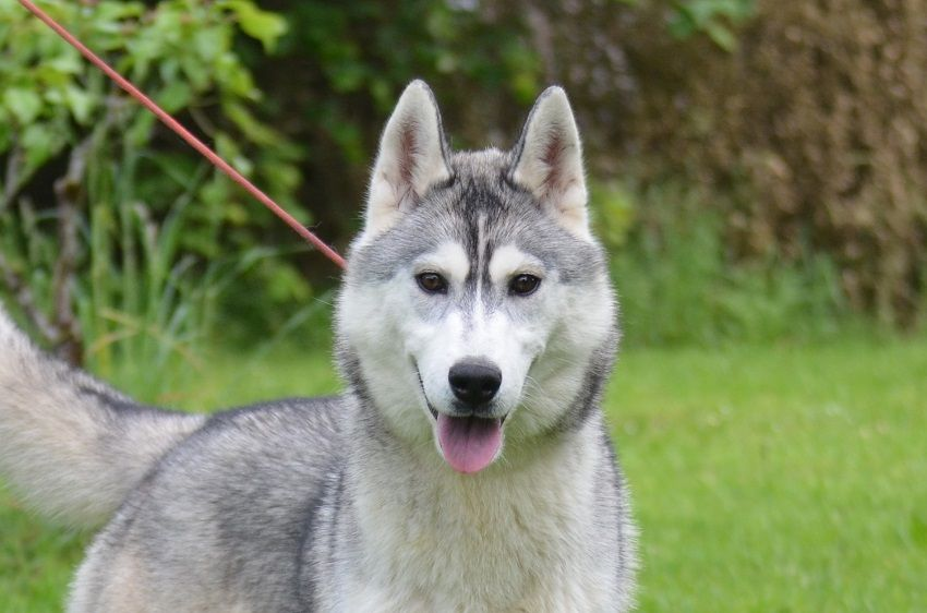 of Arctic Wolf Dream  - Chiot disponible  - Siberian Husky