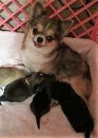 Chihuahua - da Minha Quinta
