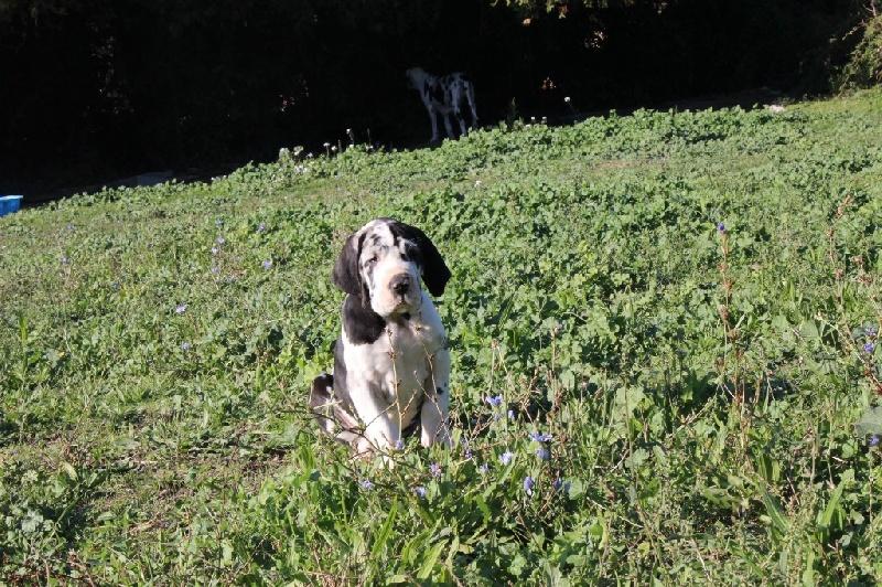 Chien - Elevage de la Benjamine - eleveur de chiens Dogue