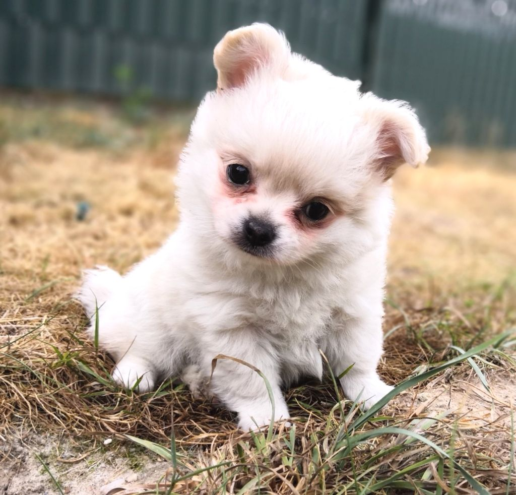 du Paradis des P'tits Cracks - Chiot disponible  - Chihuahua