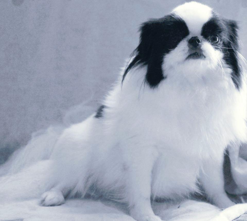 accueil elevage du dieu de la lumiere eleveur de chiens epagneul japonais. Black Bedroom Furniture Sets. Home Design Ideas