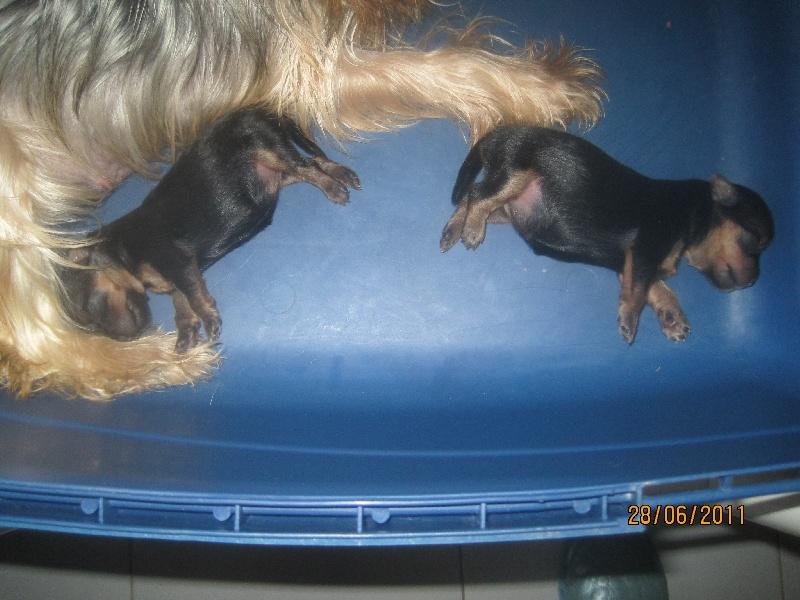 de Roller King - Yorkshire Terrier - Portée née le 22/06/2011