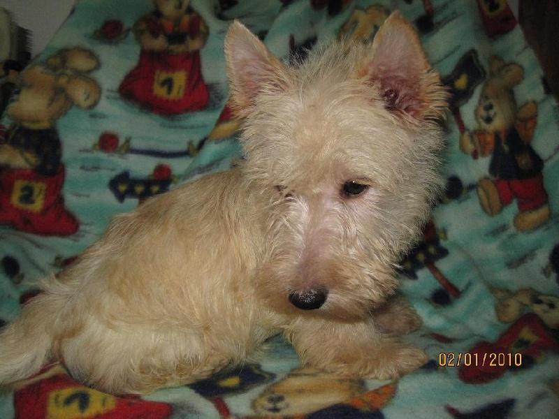 chiot Scottish Terrier de Roller King