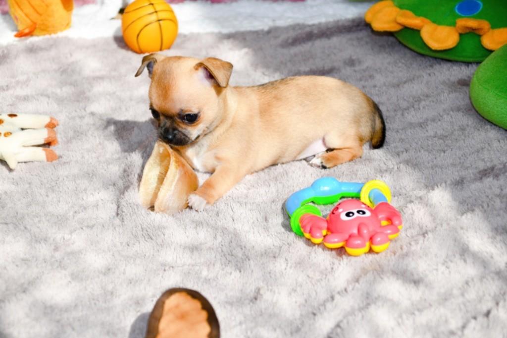 des Mille et une Patte - Chiot disponible  - Chihuahua