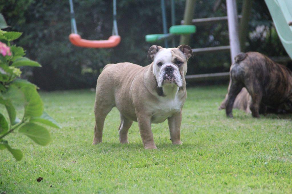 chiot Bulldog Anglais des Dunes de Mondopale