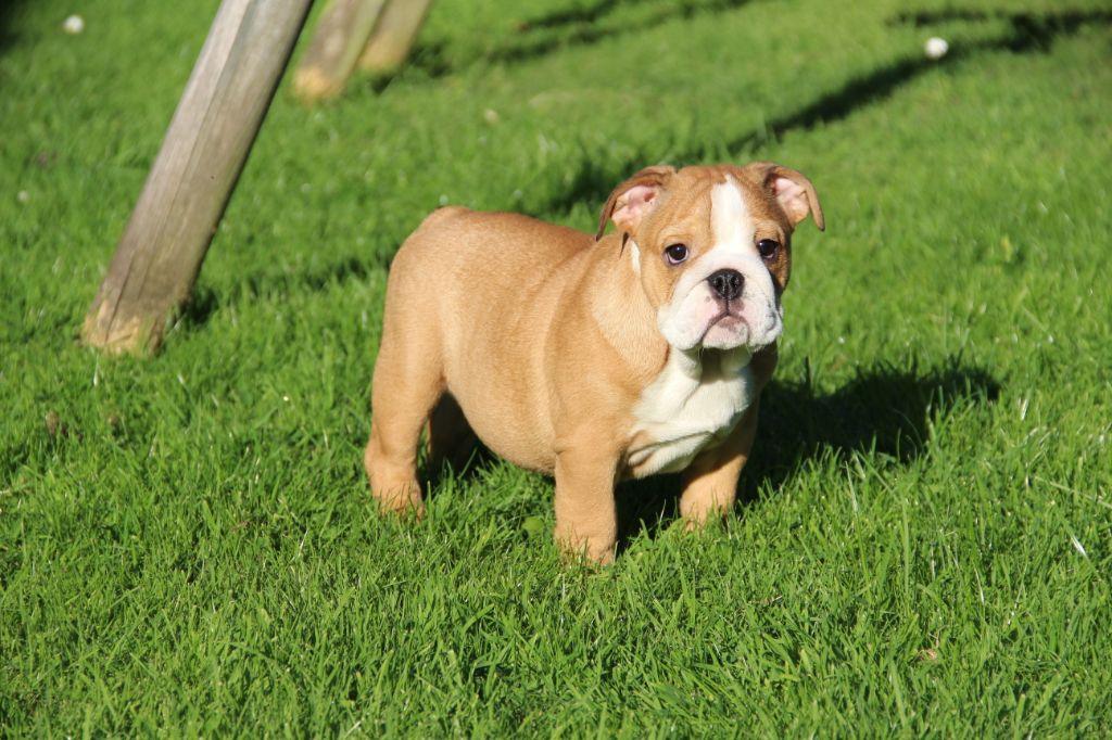 O My Lovely Ashley - Bulldog Anglais